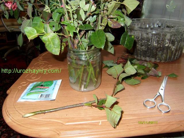 Как прорастить розу в домашних условиях
