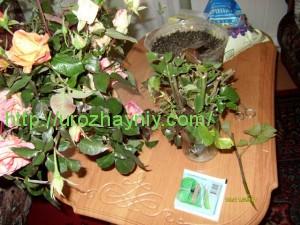 Размножение роз из букета черенками