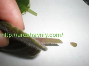 Как вырастить фиалку из листочка
