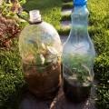 Черенкование роз в бутылке